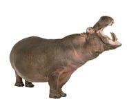 Hippopotamus - Hippopotamus amphibius ( 30 years) stock photo