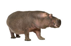 Hippopotamus - Hippopotamus amphibius ( 30 years) Stock Photos