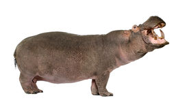 Hippopotamus - Hippopotamus amphibius ( 30 years) Royalty Free Stock Images