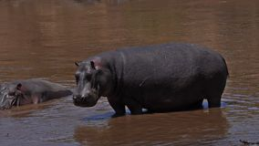 Hippopotamus, hippopotamus amphibius, Adult standing in River, Masai Mara park in Kenya,. Slow motion stock video footage