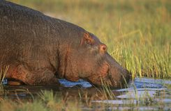 Hippopotamus (Hippopotamus Amphibius) bathing in waterhole Royalty Free Stock Photography