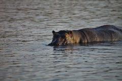 Hippopotamus, Hippopotamus amphibius, in Chobe National Park, Botswana Royalty Free Stock Photography