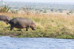 Hippopotamus - Hippopotamus amphibius Royalty Free Stock Images