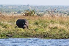 Hippopotamus - Hippopotamus amphibius Royalty Free Stock Image