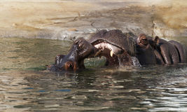 The hippopotamus (Hippopotamus amphibius), or hippo Royalty Free Stock Images