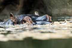 The hippopotamus (Hippopotamus amphibius), or hippo Stock Photography