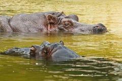 Hippopotamus Hippopotamus amphibius, or hippo Royalty Free Stock Image