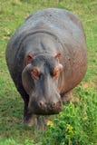 Hippopotamus (Hippopotamus amphibius) Royalty Free Stock Photos
