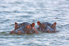 Hippopotamus,hippopotamus amphibius. Kruger national park, South Africa Stock Image