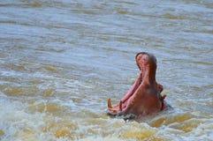 Hippopotamus (Hippopotamus amphibius) Royalty Free Stock Photography