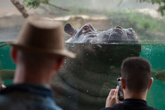 Hippopotamus Hippopotamus amphibius. Royalty Free Stock Photo
