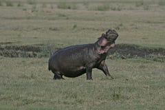 Hippopotamus, Hippopotamus amphibius Royalty Free Stock Image