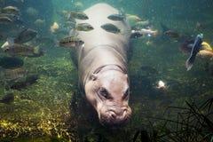 Hippopotamus, Hippopotamus amphibius, Southafrica Stock Photos