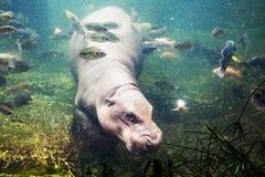Hippopotamus, Hippopotamus amphibius, Southafrica Stock Images