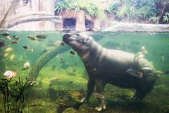 Hippopotamus, Hippopotamus amphibius, Southafrica Royalty Free Stock Photography