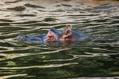 Hippopotamus (Hippopotamus amphibius). Swimming in the water Stock Photography