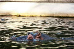 Hippopotamus (Hippopotamus amphibius). Swimming in the water Stock Photos