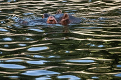Hippopotamus (Hippopotamus amphibius). Swimming in the water Stock Image