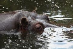 Hippopotamus (Hippopotamus amphibius). Stock Image