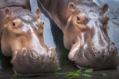 Hippopotamus Hippopotamus Amphibius . stock photo