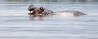 Hippopotamus in water with mouth open Royalty Free Stock Photography
