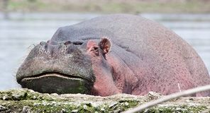 Hippopotamus in water resting chin on ledge. Hippopotamus Hippopotamus amphibius in water resting chin on ledge at Lake Naivasha, Kenya Stock Photography