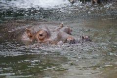 Hippopotamus - Hippopotamus amphibius Stock Photography