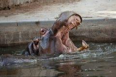 Hippopotamus Hippopotamus amphibius. Stock Images