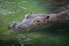 Hippopotamus Hippopotamus amphibius. Royalty Free Stock Photography
