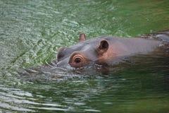Hippopotamus Hippopotamus amphibius. Royalty Free Stock Image