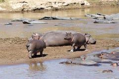Hippopotamus (Hippopotamus anphibius) lizenzfreies stockbild