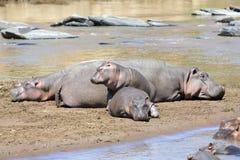 Hippopotamus (Hippopotamus anphibius) Royalty Free Stock Images