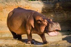Hippopotamus. Chewing food while walking towards the water Royalty Free Stock Photo