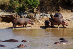 Hippopotamus. Hippos in and out of water Stock Images