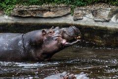 Hippopotamus in his water eating. Big hippopotamus from a zoo eating in his water. Sharp subject. Closed mouse. 2 hippopotamus Stock Image