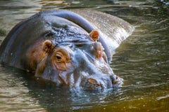 Hippopotamus/hyppopotamus στο νερό Στοκ Φωτογραφίες
