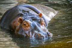 Hippopotamus/hyppopotamus in water Stock Photos