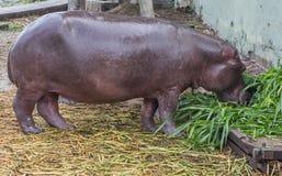 Hippopotamus II Stock Images