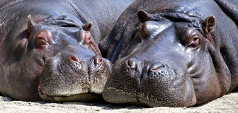Hippopotamus royalty free stock photography