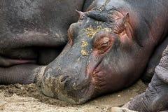 Hippopotamus isolated Royalty Free Stock Photography