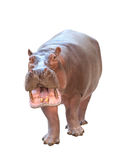 Hippopotamus isolated Royalty Free Stock Images