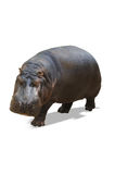 Hippopotamus isolated on white Stock Images