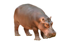 Hippopotamus isolated. On white background stock photography