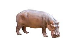 Hippopotamus isolato fotografia stock libera da diritti