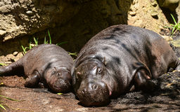 Hippopotamus and its baby Royalty Free Stock Photography