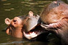 Hippopotamus joven en agua imagen de archivo libre de regalías