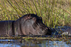 Hippopotamus in the Khwai River - Botswana. Hippopotamus (Hippopotamus amphibius) in the Khwai River in the Okavango Delta Region of Botswana Royalty Free Stock Photo