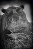 Hippopotamus - Khwai River - Botswana Stock Images