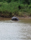 Hippopotamus at Kruger National Park Royalty Free Stock Photography