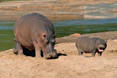 Hippopotamus, Kruger National Park, South Africa Royalty Free Stock Photos